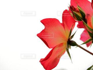 赤い花 - No.1123487