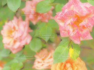 花,ピンク,バラ,薔薇,愛知県,東山植物園,2017年5月