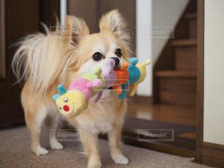 おもちゃの前に小さな白い犬立っての写真・画像素材[1185061]