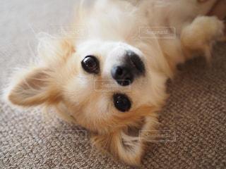 地面に横たわっている犬の写真・画像素材[1185071]