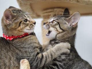 カメラにポーズを鏡の前で座っている猫の写真・画像素材[1258681]
