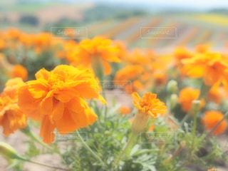 近くにオレンジ色の花のアップの写真・画像素材[1370623]