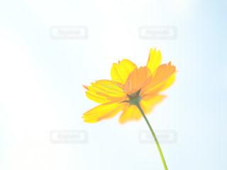 黄色の花の写真・画像素材[1463954]