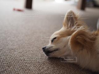 横になって、カメラを見ている犬の写真・画像素材[1625888]