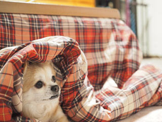 ベッドの上に座っている犬の写真・画像素材[1747736]