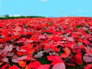 フィールドに赤い花の写真・画像素材[758981]