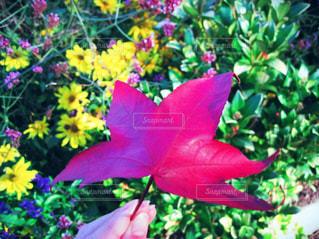 バンクーバーの紅葉の写真・画像素材[759333]