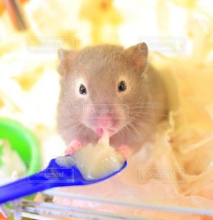 歯ブラシで小さな齧歯動物の写真・画像素材[729430]