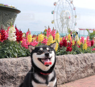 カメラを見て犬の写真・画像素材[1184256]