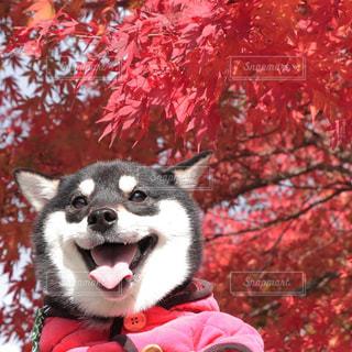 赤いシャツを着て犬の写真・画像素材[1188748]
