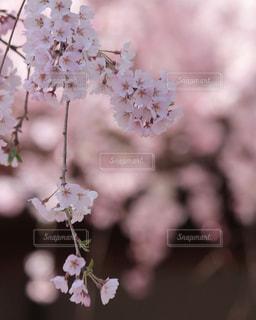 花,春,桜,カメラ女子,ピンク,お花見,女子旅,一眼レフ,ひとり旅,枝垂れ桜,神社仏閣,桜の花,さくら,ブロッサム,お写んぽ,写活