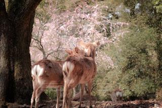 花,春,桜,カメラ女子,木,ピンク,花見,お花見,イベント,鹿,女子旅,一人旅,お出かけ,山桜,日帰り旅行,お写んぽ
