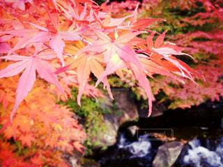 ピンクの花の木 - No.870436