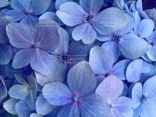 紫の花のグループの写真・画像素材[1368144]