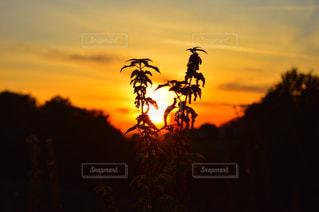 背景の夕日とツリーの写真・画像素材[1611581]