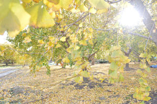 風景,カメラ,綺麗,黄色,銀杏,愛知,稲沢