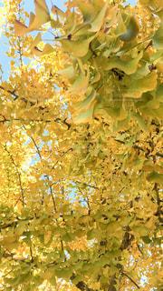 風景,カメラ,綺麗,黄色,銀杏,愛知