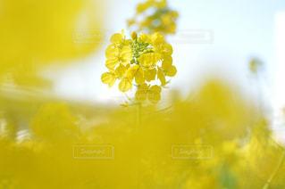 風景,公園,花,カメラ,綺麗,黄色,菜の花,名古屋,愛知,yellow
