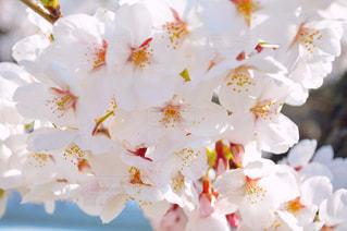 風景,公園,花,カメラ,桜,名古屋,愛知