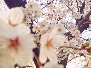風景,公園,花,カメラ,桜,綺麗,名古屋