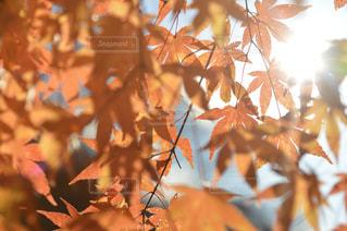 空,秋,紅葉,太陽,葉,光