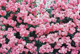 ピンク,バラ,薔薇,熊本,阿蘇,フィルムカメラ,pink,フィルム写真,はな阿蘇美