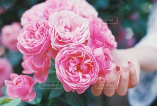 ピンク,手,バラ,薔薇,フィルムカメラ,pink,フィルム写真,film camera,はな阿蘇美