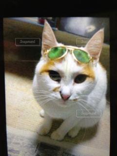 グラサン猫の写真・画像素材[741819]