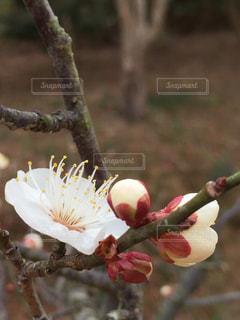 梅の写真・画像素材[1038377]