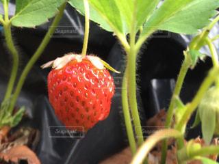 みずみずしいイチゴの写真・画像素材[2124253]