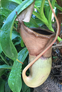 巨大食虫植物の写真・画像素材[2124311]