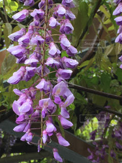 自然,花,春,雨,紫,水滴,しずく,風情,ふじ