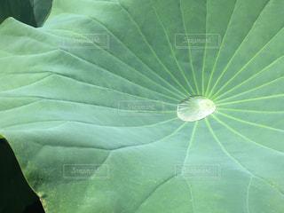 大きな蓮の葉の写真・画像素材[2124469]