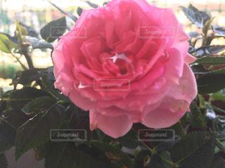 キラキラ可愛い薔薇の写真・画像素材[2124516]