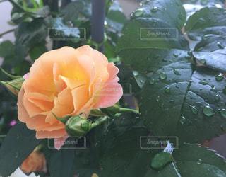 自然,花,水滴,バラ,優しい,薔薇,可愛い,flower,家庭菜園,ベランダ菜園,しずく