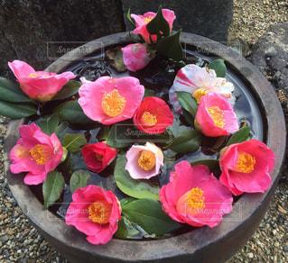 風景,花,冬,ピンク,椿,色とりどり,可愛い,家庭菜園,ツバキ
