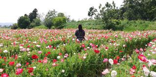 風景,公園,花,春,花畑,屋外,カラフル,後ろ姿,景色,人物,人,癒し,flower,華やか,後ろ,ひなげし,フォトジェニック,馬見丘陵公園,Scenery,インスタ映え