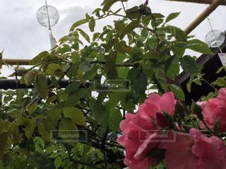 梅雨に優しい音色を聴くバラの写真・画像素材[2171714]