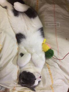 動物,にゃんこ,ペット,子猫,休日,スコティッシュホールド,猫が寝てる