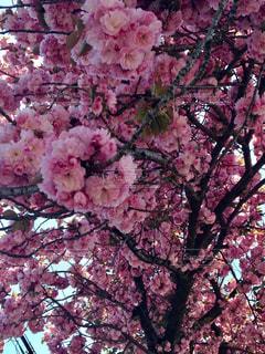 桜,ピンク,八重桜,pink