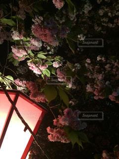 大阪造幣局の通り抜けの写真・画像素材[1150363]