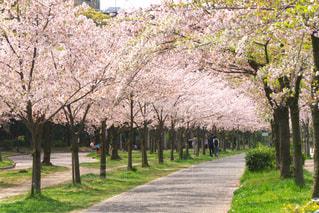 桜,屋外,ピンク,ピンク色,桃色,pink,お出かけ,桜之宮公園