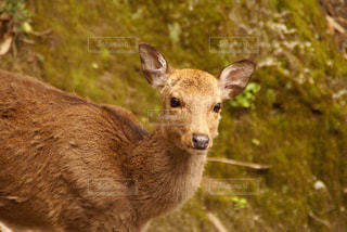 草の中の鹿の立っています。 - No.721406