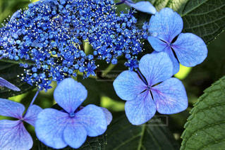 あじさい,紫陽花,梅雨,青紫,アジサイ