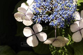 白,あじさい,紫陽花,梅雨,6月,アジサイ