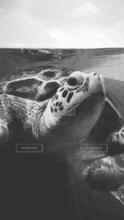 水の下で泳ぐ海亀の写真・画像素材[821068]