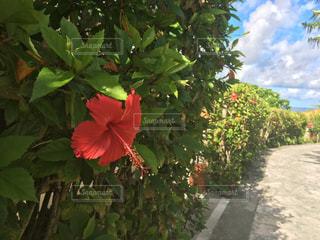 植物の赤い花の写真・画像素材[717649]