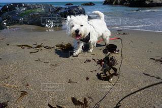 ビーチに立っている小さな白い犬の写真・画像素材[975232]