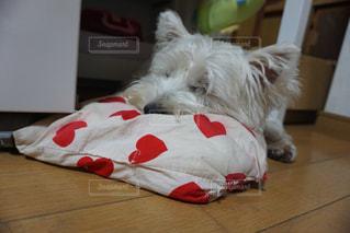 寝る犬の写真・画像素材[975332]