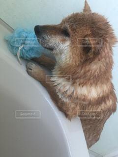 カメラを見て茶色と白犬の写真・画像素材[981905]